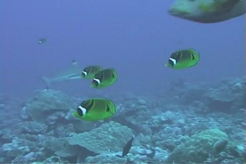 Tauchen auf Bora Bora - Schmetterlingsfische
